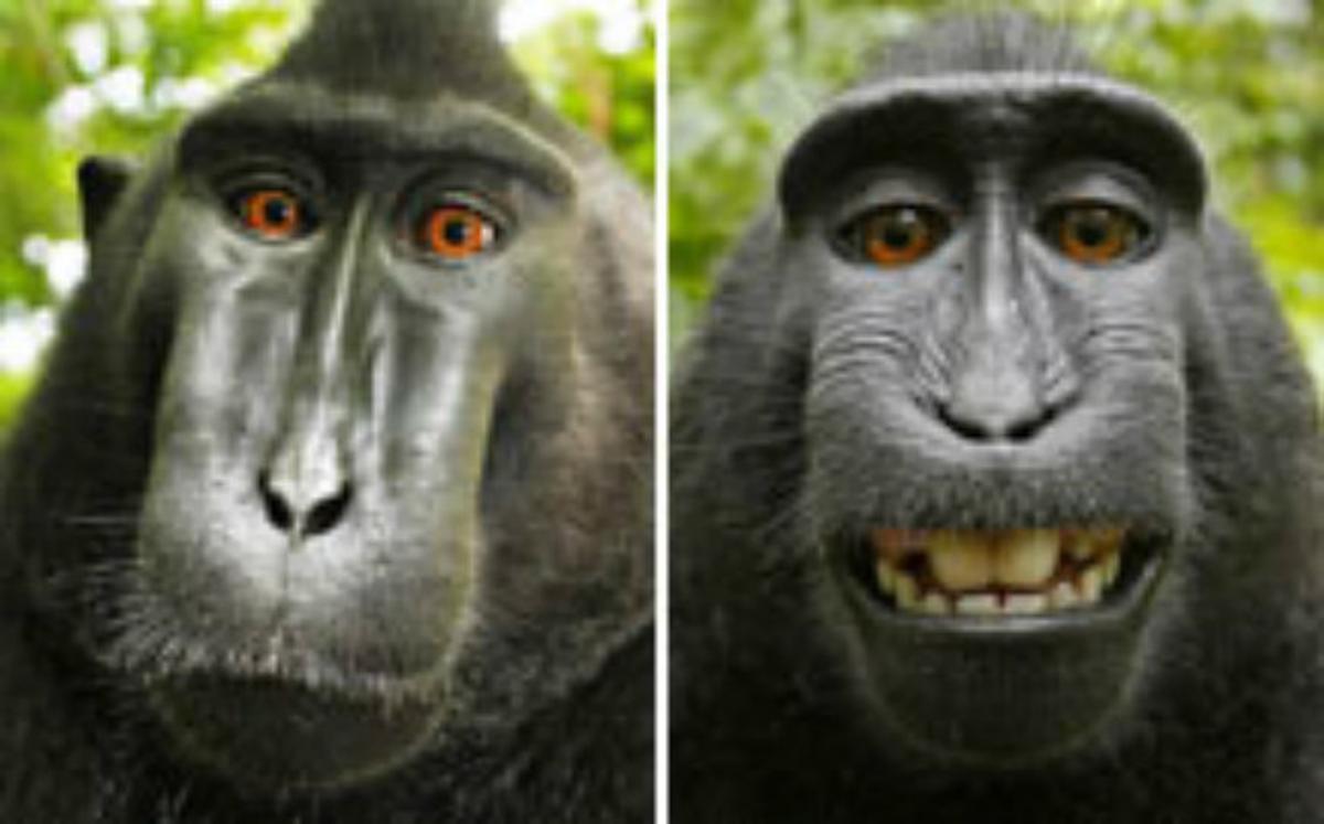 Autofotos de los macacos en Indonesia.