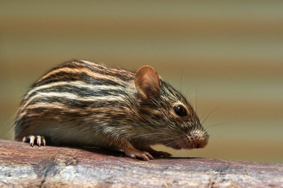 Los ratones aprenden de los humanos a resolver problemas