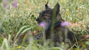 Un linx ibèric alliberat a Portugal es planta a Barcelona