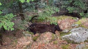 El oso Cachou, muerto en la zona de Soberpera, en la Vall d'Aran, el 9 de abril del año pasado.