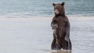 Los osos de Kamchatka no encuentran alimento.