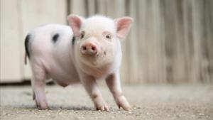Dos detinguts per colpejar amb una maça un porc vietnamita