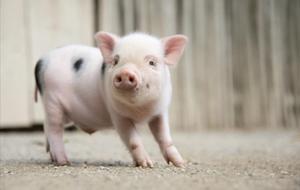 Un cerdovietnamita pasea por su recinto en el zoo de Hannover (Alemania)