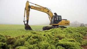 Una platja de la Xina pateix la invasió d'algues més gran de la història