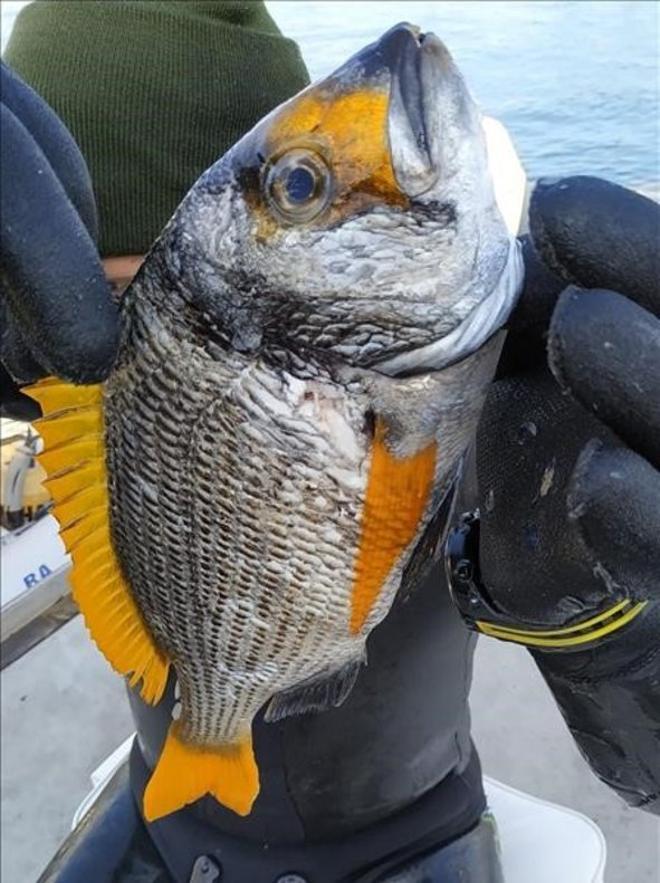 Un ejemplar del pez del Oceano Índico 'Acanthopagrus bifasciatus'hallado en noviembre de 2019 en el puerto de Barcelona.