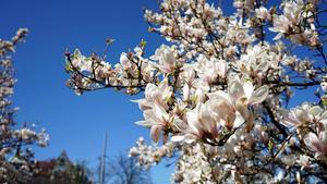 Magnolias en flor.