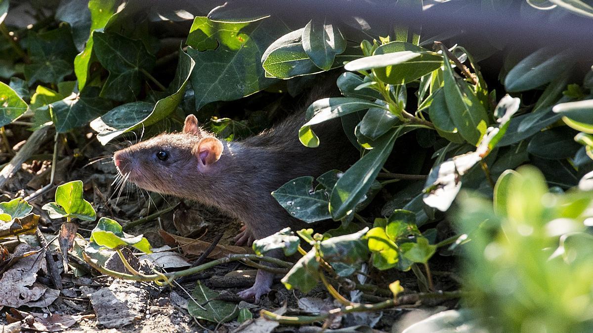 rat à Barcelone