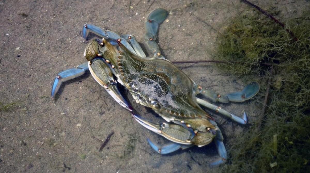 Ejemplar de cangrejo azul americano en la desembocadura del Foix, en Cubelles. Los adultos pueden llegar a medir entre 20 y 25 centímetros.