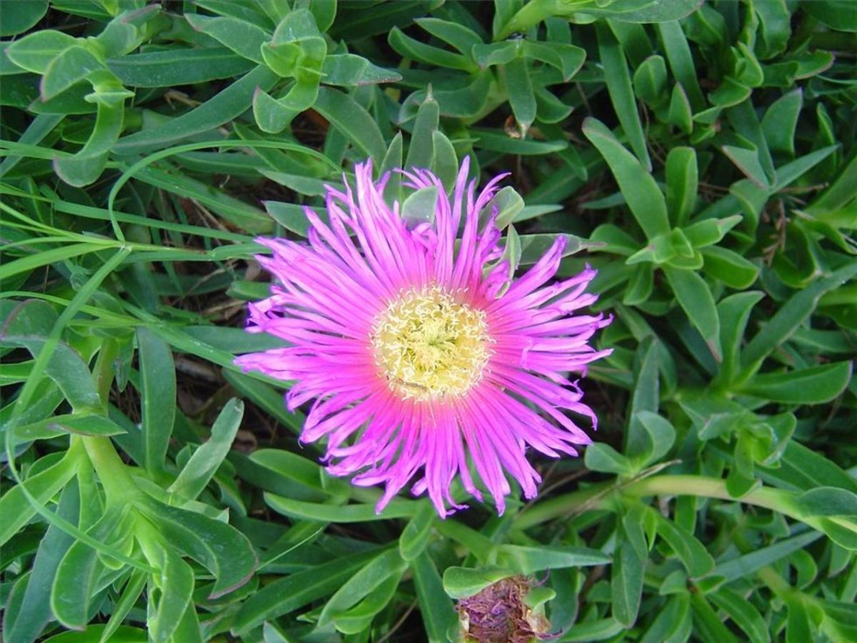 Vistosa flor de uña de gato o 'Carpobrotus edulis', planta exótica einvasora muy habitual en ambientes litorales.