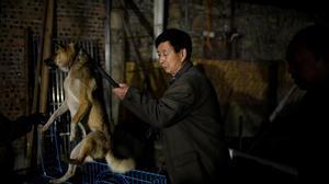 Un perro rescatado es enjaulado en casa de Wen.