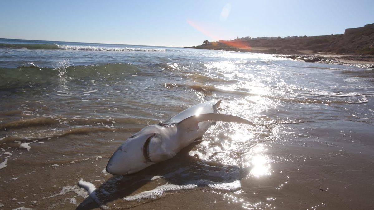El tiburón varado en la playa