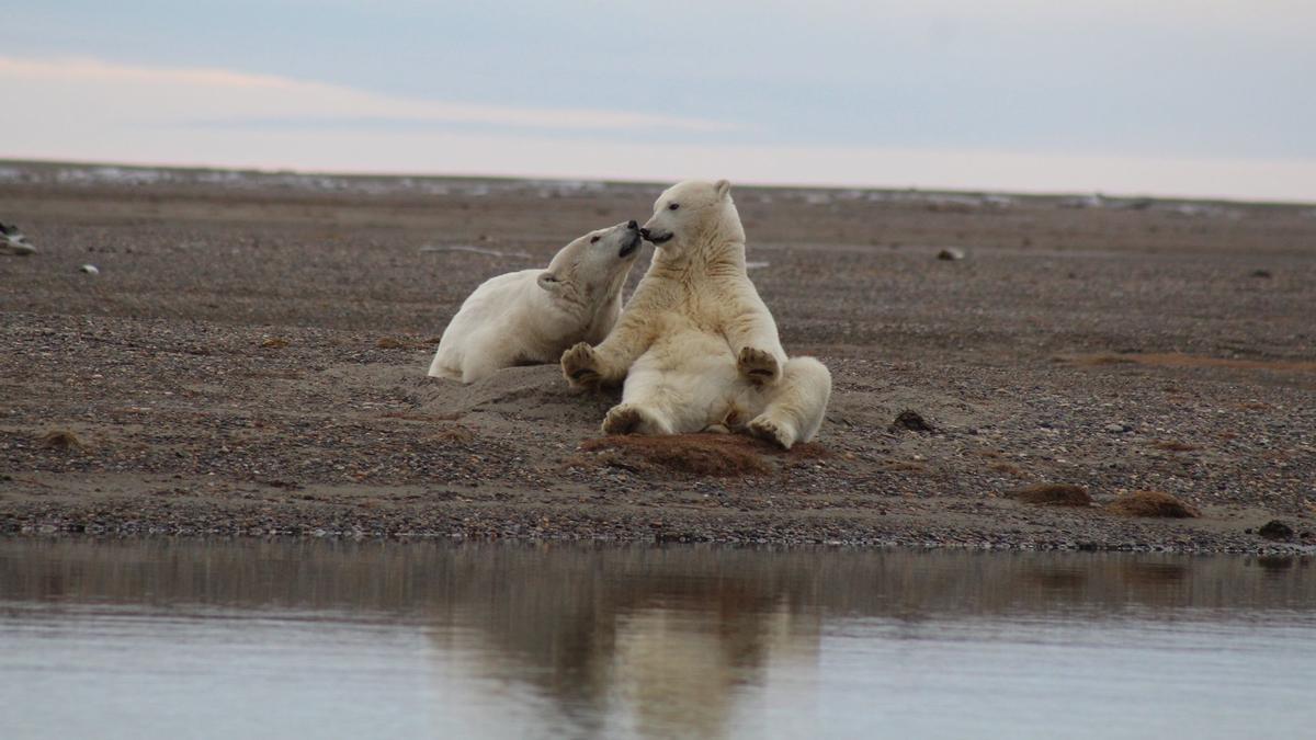 sociedad ANWR foto del Refugio Natural de Vida Silvestre del Ártico OSOS POLARES EN LA RESERVA