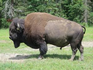 L'impressionant atac d'un bisó a una nena de nou anys a Yellowstone
