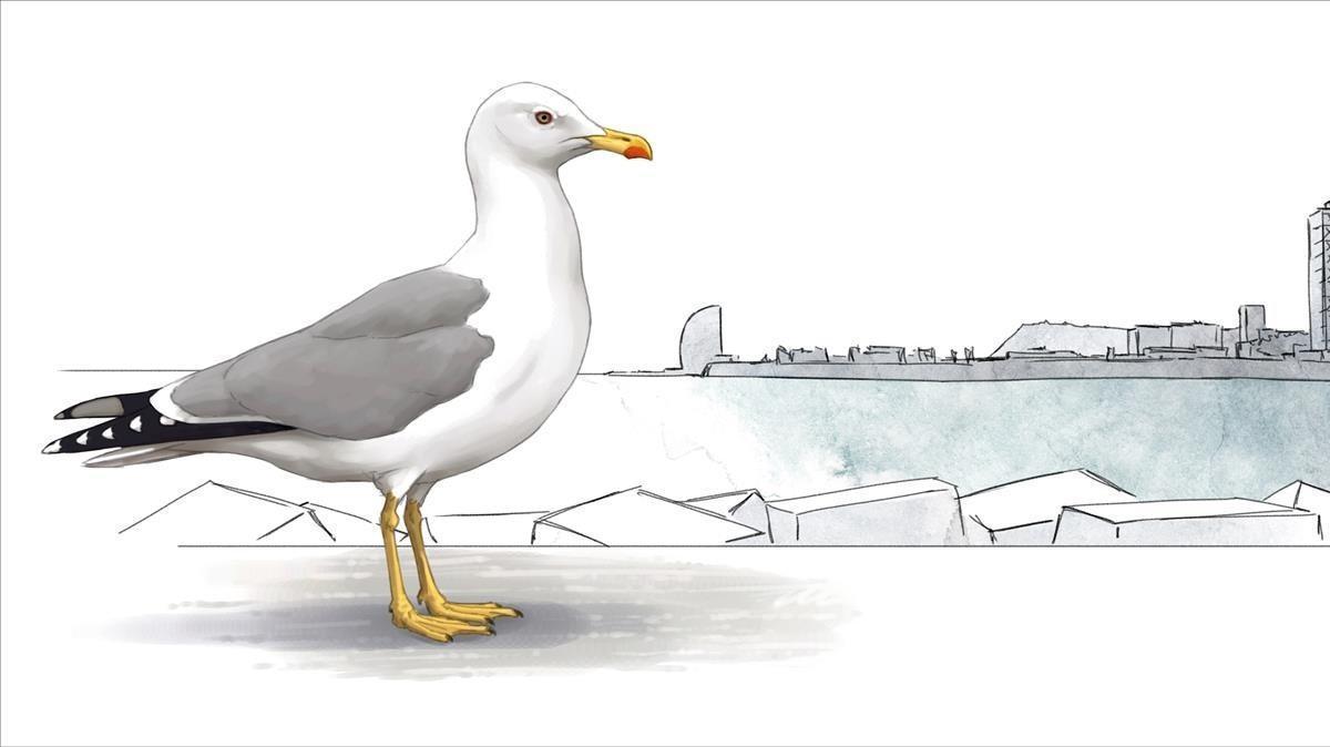 GAVIOTA PATIAMARILLA. La especie, antesrestringida a los acantilados del Morrot, cría en actualmente en algunas azoteasy tejados de casi todo el núcleo urbano. Más habitual en barrios cercanos al mar. Unas 500 parejas nidificantes.