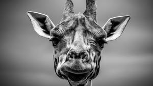 La jirafa, un animal en peligro de extinción.
