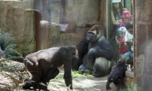 Instalación de los gorilas en el zoo de Barcelona.