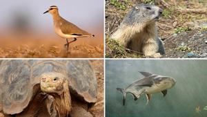 Especies en peligro de extinción incluídas en la lista roja de la UICN. De izquierda a derecha,avefría sociable (Vanellus gregarius), marmota alpina (Marmota marmota), tortuga gigante de la Española (Chelonoidis hoodensis) y pez gato de Mekong (Pangasianodon gigas)
