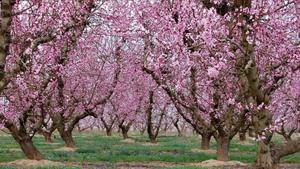 Los melocotoneros de Aitona (Lleida), en flor por el inicio de la primavera.