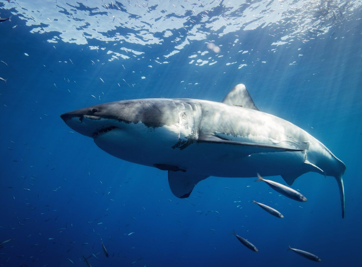 Toque de atención a España, segundo mayor comercializador de tiburones del mundo