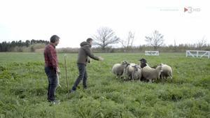 Novell, con las ovejas de Muxach (TV-3).