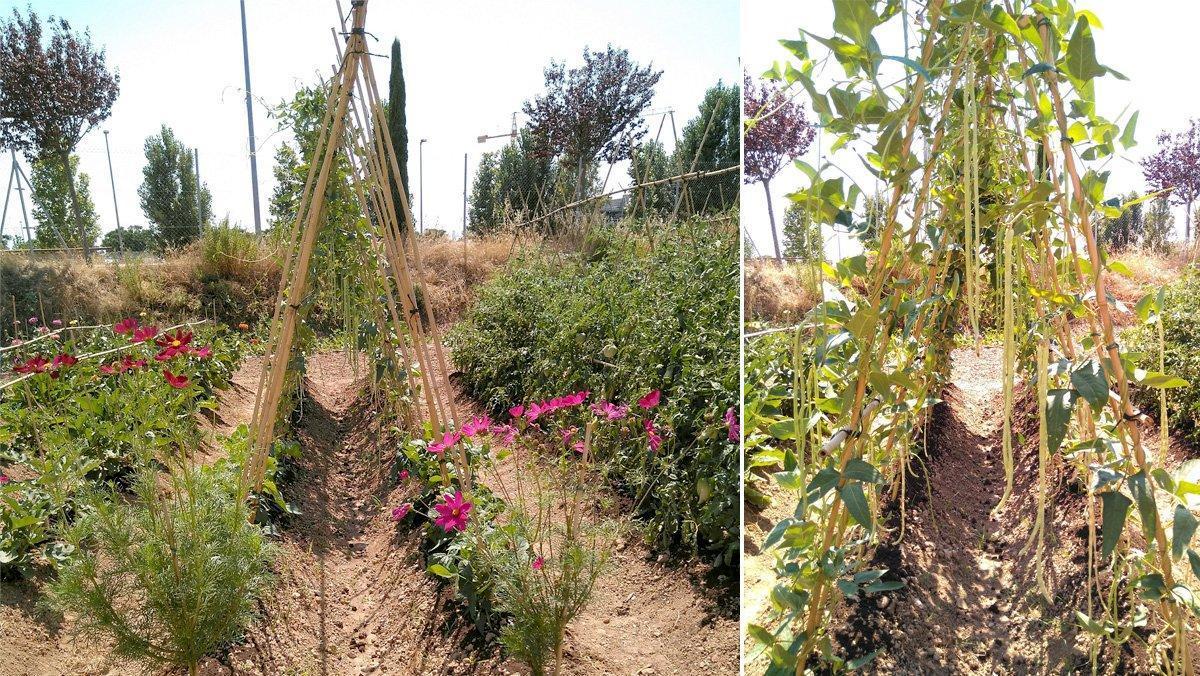 Evolución de una variedad local en un huerto.