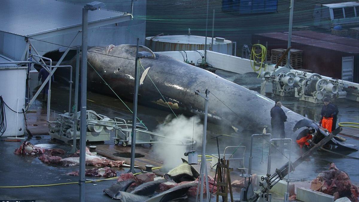 La ballena azul cazada por la compañía islandesa.