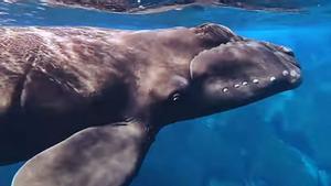 Cría de ballena franca avistada en las aguas de El Hierro el 22 de diciembre de 2020