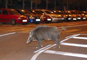 Un jabalí, en una imagen de archivo,se pasea a medianoche por Sant Cugat.