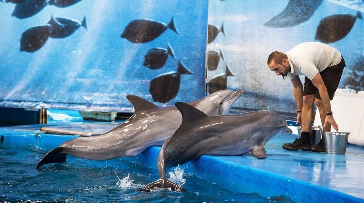 Dos delfines del zoo prestan atención a un cuidador.