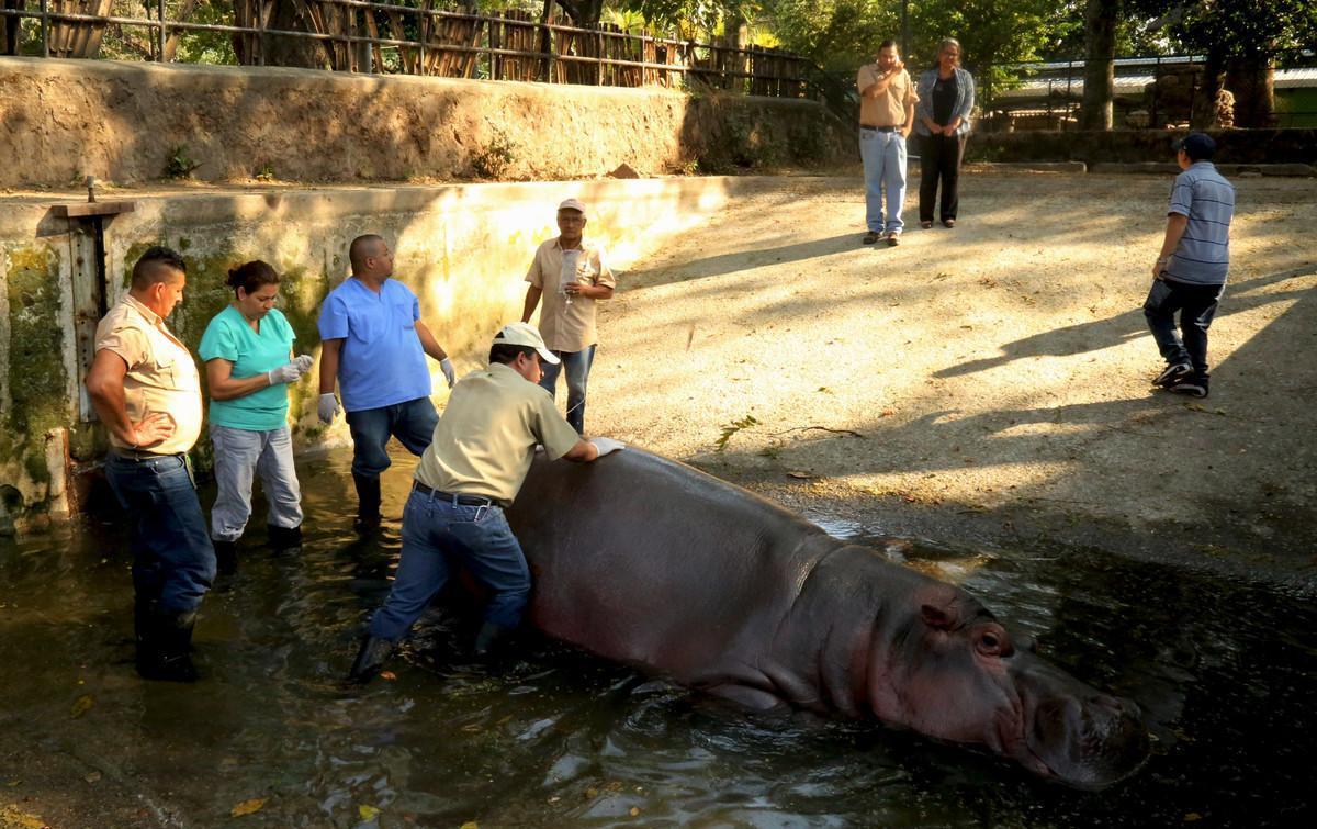Imagen del día 25 de febrero de 2016, cedida por la Secretaría de Cultura de la Presidencia de El Salvador que muestra al personal del zoológico nacional, atendiendo a un hipopótamo en San Salvador.