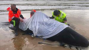 200 balenes cap d'olla més es mantenen encallades a Tasmània