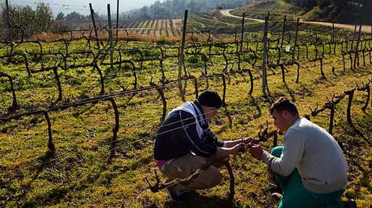 Una visita a las viñas de la finca Can Calopa, en Collserola.