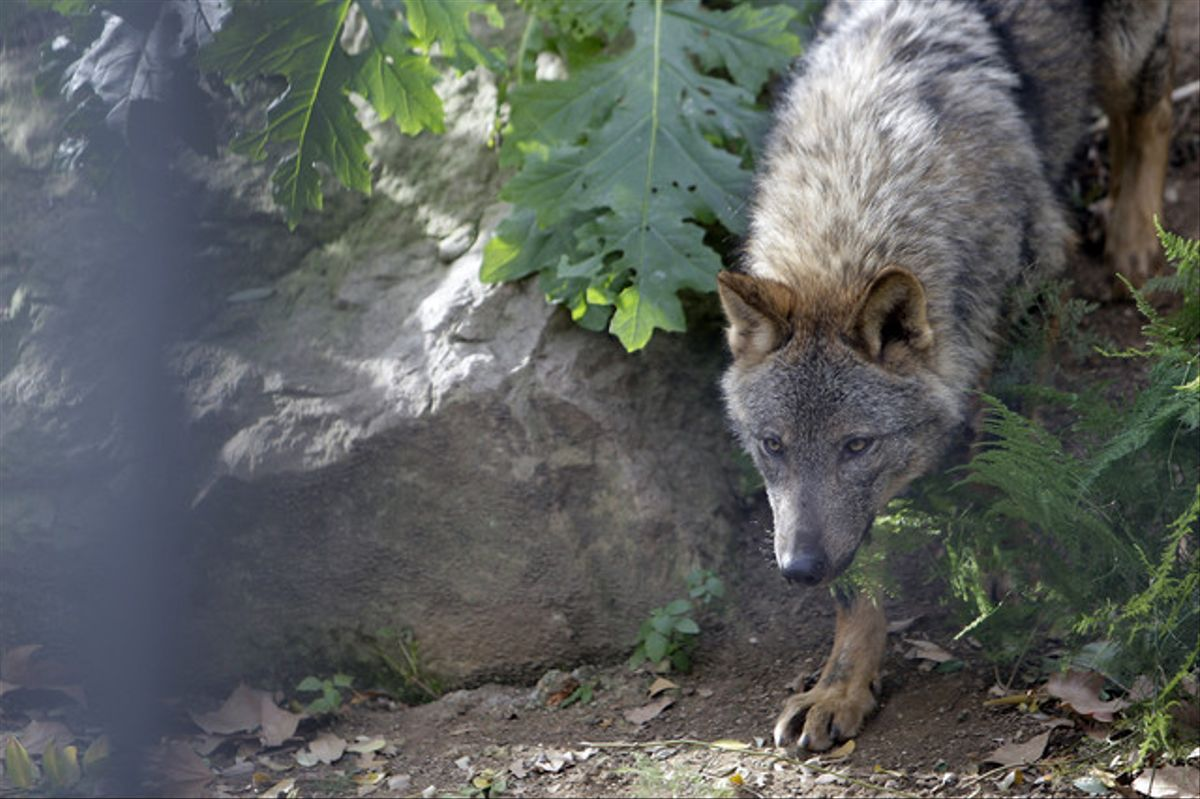 Un lobo hispanico, objeto de controversia.