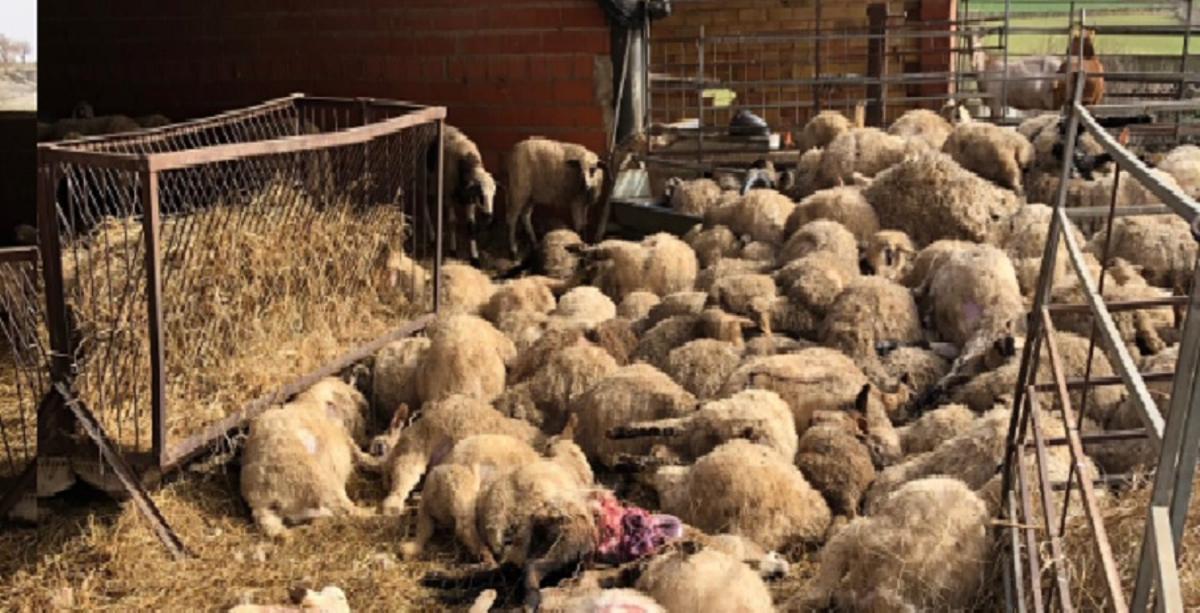 Imagen de los corderos muertos por el ataque de los perros.