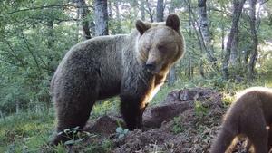 Un oso en el Parque Natural de las Ubiñas la Mesa en Asturias.