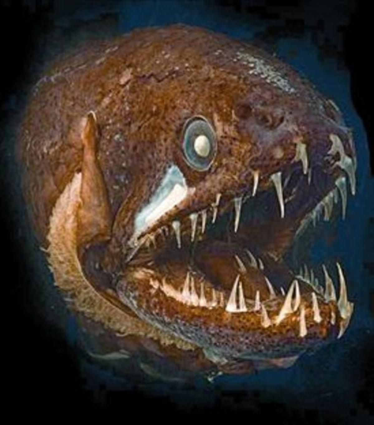 El llamado pez de los Sargazos (izquierda) y un pez dragón, dos de las especies incluidas en Censo de la Vida Marina.