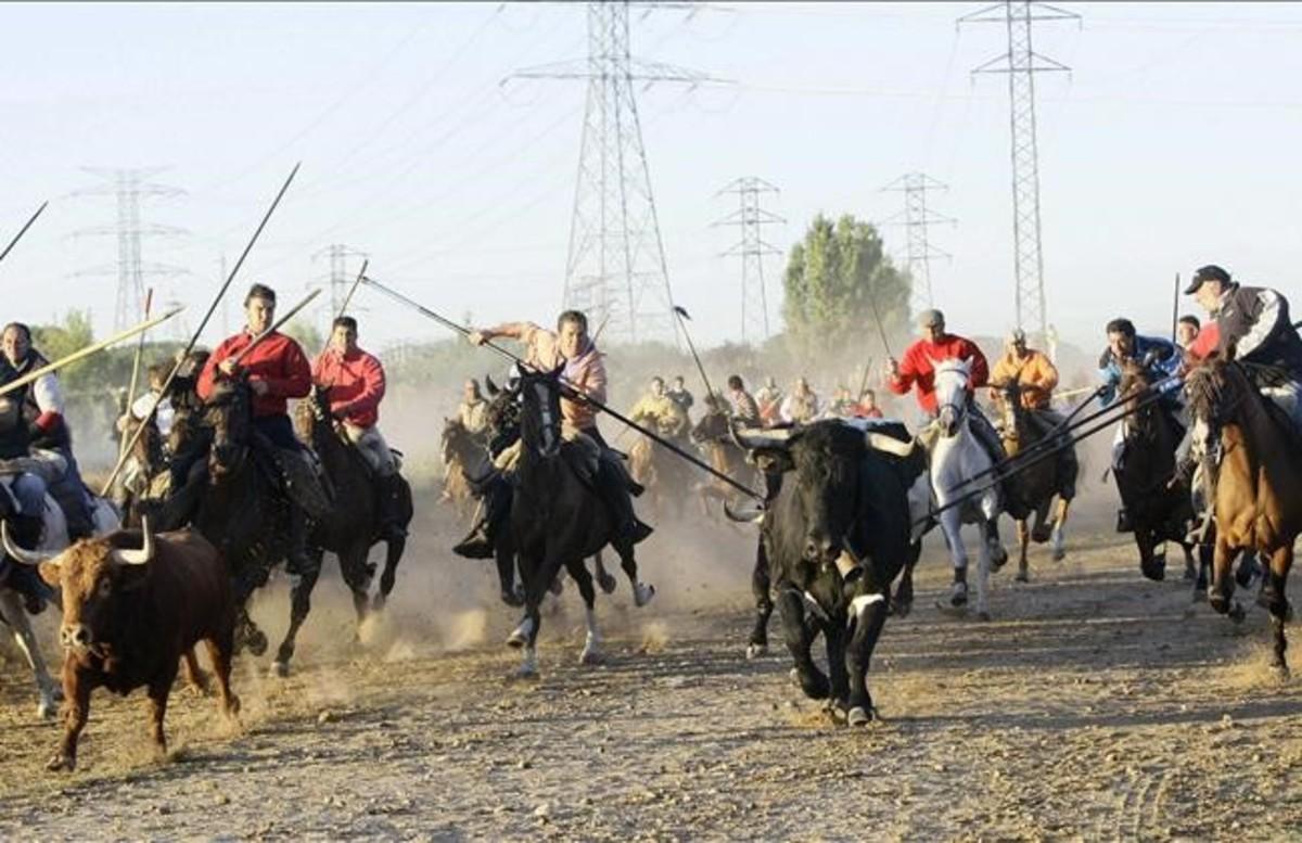 Afligido, el Toro de la Vega del 2011, trota entre lanceros, en la vega del Duero.