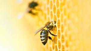 genteStarpil.- Día de la abeja 20 de mayo