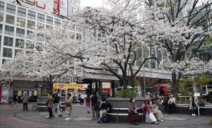 Una calle de Tokio con los almendros en flor.