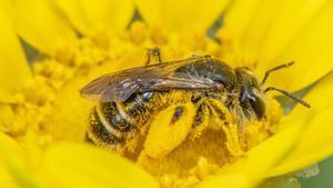 Las abejas son republicanas