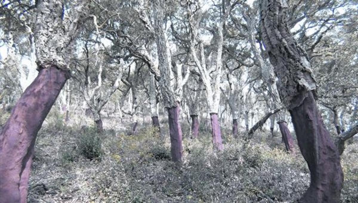Alcornocal en Catalunya 8 Aspecto característico de los árboles una vez se les ha quitado el corcho. En unos 10 años vuelven a tenerlo.
