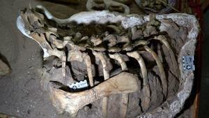 Los restos del esqueleto, denominado Mahuidarcursor, fueron presentados en el centro Cultural Alberdi de Neuquén.