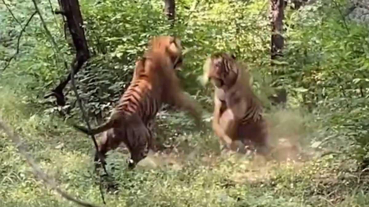Dos tigres se pelean ante un grupo de turistas en un parque nacional de la India.