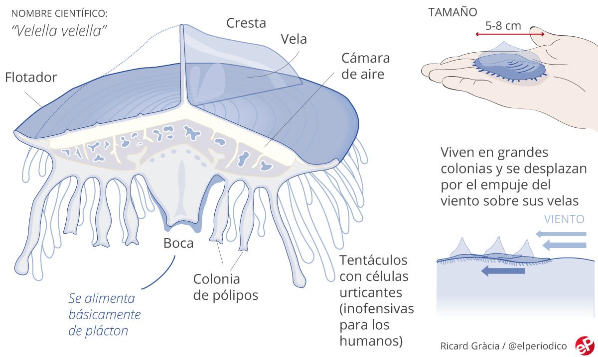 GRÁFICO | Así son las medusas velero