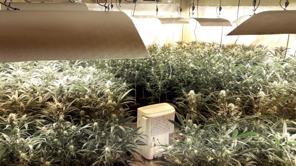 Plantación de marihuana localizada en un piso okupa de Barcelona.