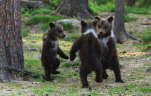 Osos bailando en medio del bosque.