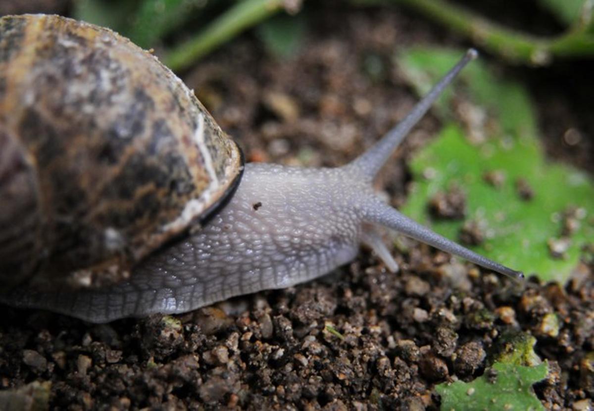 Un caracol, en una imagen de archivo.