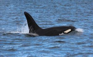 Una orca en medio del mar.