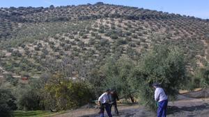 Un olivar de Córdoba