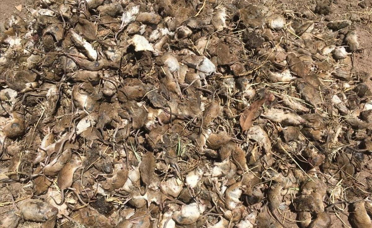 Una incontrolable plaga de ratones arrasa cultivos en Nueva Gales del Sur, Australia.